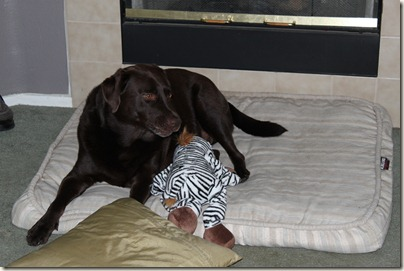 Chocolate Labrador, Zebra Toy