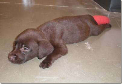 Chocolate Lab Puppy in a Cast