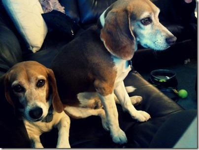 Beagle Roommates